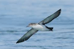 Unexplained mortality of shearwaters in the Mediterranean Sea